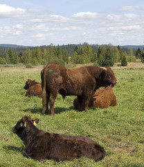 bull and cows