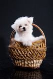 Maltese Dog In A Wicker Basket poster