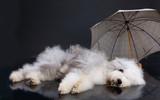 Fluffi Dog And Umbrella poster