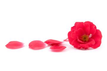 Red rose and rose-petals