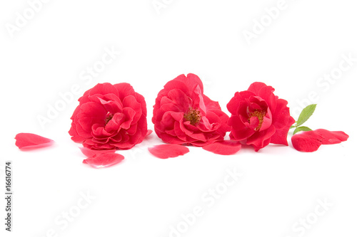 Red roses and rose-petals i