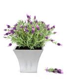 Fototapety Lavender Herb Plant