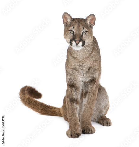 Poster Puma Portrait of Puma cub, Puma concolor, 1 year old, sitting, studio