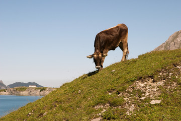 Mountain cow on slope next to Lünersee, Vorarlberg, Austria