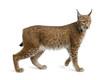 Eurasian Lynx, lynx lynx, 5 years old, standing, studio shot