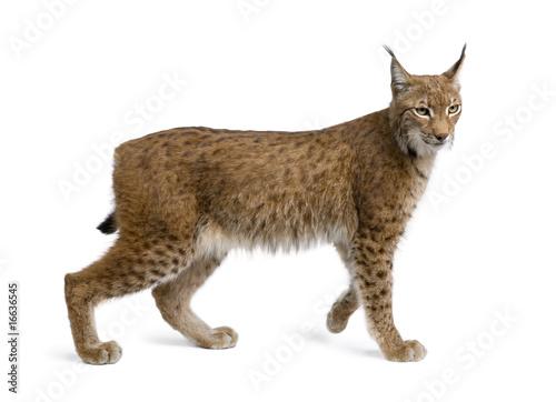Eurasian Lynx, lynx lynx, 5 years old, standing, studio shot - 16636545