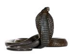 Egyptian Cobra, Naja Haje, studio shot poster