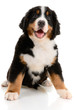 Berner sennenhund  pup on a white background
