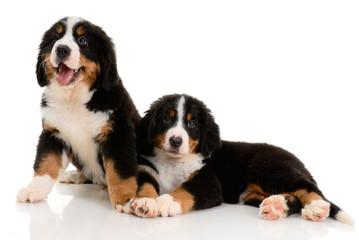 Two berner sennenhund puppy on a white background