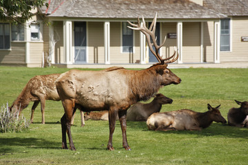 Herd of the deers  in Yellowstone national park
