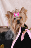 Yorkshire terrier sitting in a bag