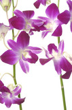 Branch of violet orchids