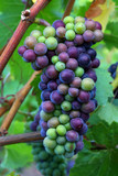 Pinot Noir Grapes During Veraison