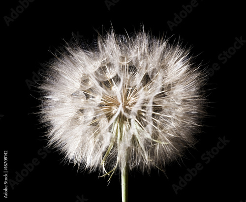 dandelion on black - 16709142