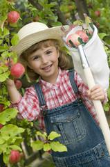 Apple harvests