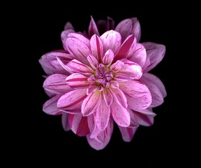 Purple striped Dahlia