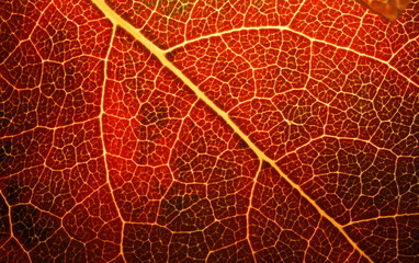 Golden apple leaf