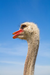 Ostrich standing with mouth open