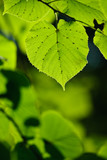 Green leaf in mystic light poster