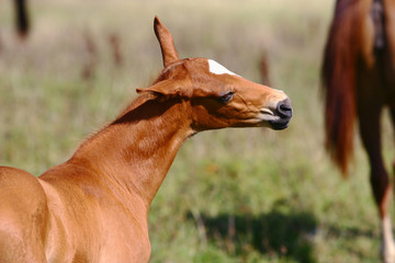 chestnut filly on field