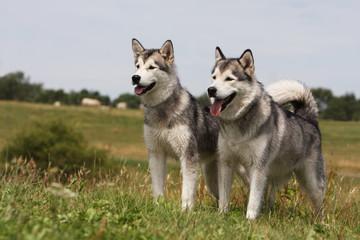 deux alaskan malamute de trois quart regardant au loin.joyeux