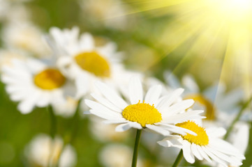 White and yellow daisies.