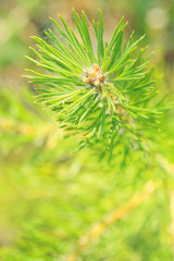 pine tree branch closeup