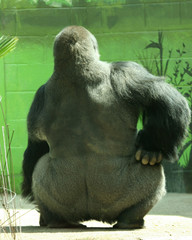 A Big Silver Back Gorilla in a Huff