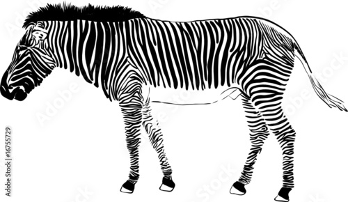 vector - zebra isolated on background
