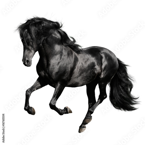 Poster Paardensport black horse runs gallop isolated on white backgrond