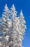 winter spruces tops and snowfall on sky background poster