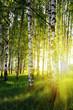Leinwanddruck Bild - birch trees in a summer forest