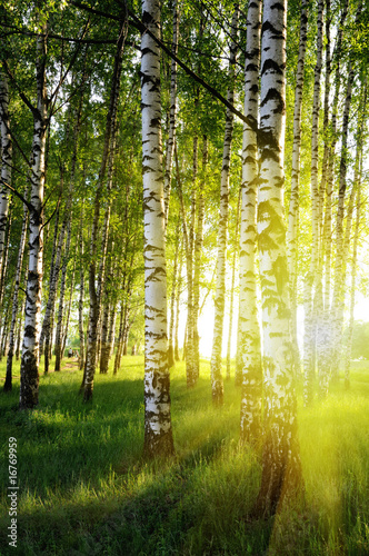 Panel Szklany birch trees in a summer forest