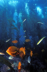 Kelp forest scene with garibaldis