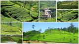 Culture de thé poster