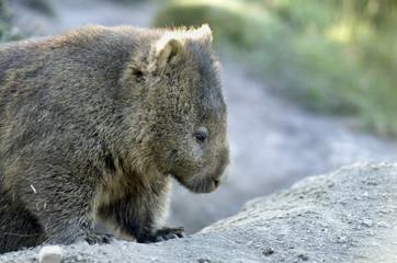 Australian Wombat