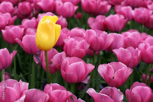 Plexiglas Roze Tulips