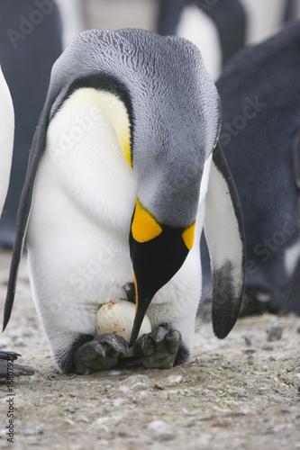 Papiers peints Pingouin Penguin with egg