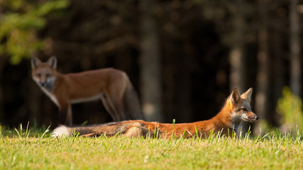 Young red fox resting on the grass
