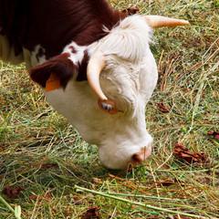 Mucca di montagna al pascolo in un prato