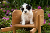 White Cockapoo Sitting in Wheelbarrow