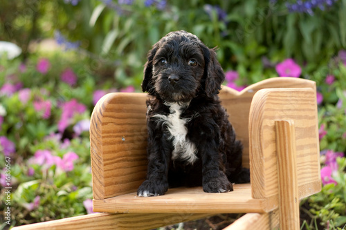 Black and White Cockapoo Sitting Alert in Wheelbarrow