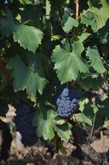 pieds de vignes et raisin