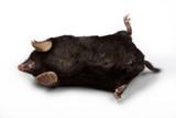 European Mole (Talpa europaea) poster