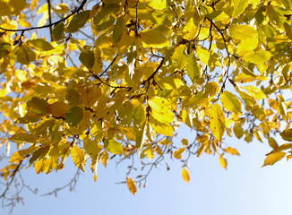 Gelbes Herbstlaub vor blauem Himmel