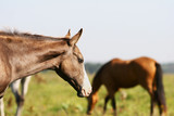 gray purebred foal poster