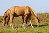 purebred horses grazing on summer field poster