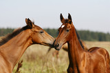 two purebred foals playing in field poster