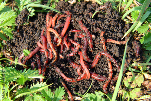 many red worms in dirt
