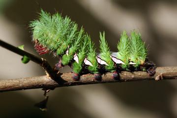 Spiny Brazilian caterpillar